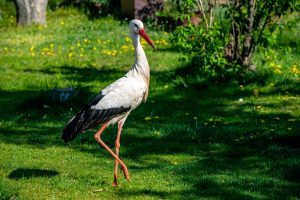 Storch läuft über eine grüne Wiese im Vogelpark
