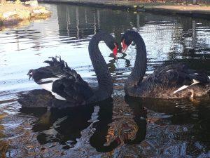 Unsere Trauerschwäne Susi und Strolch bilden ein Herz mit ihren Hälsen