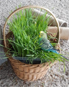 Wellensittich sitzt im Weizengras