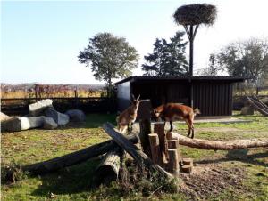 Zwei Ziegen klettern auf liegenden Baumstämmen