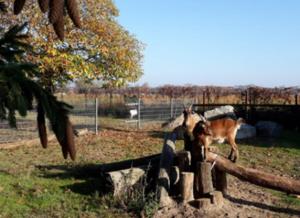 Zwei Ziegen auf Baumstämmen
