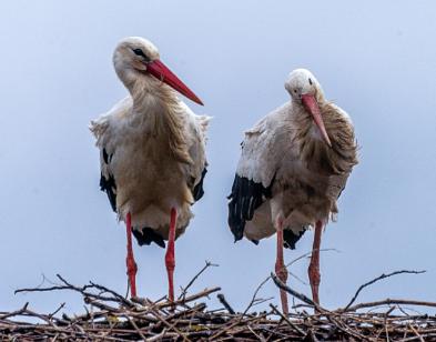 Zwei Störche stehen im Nest