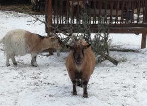 Zwei Ziegen im Schnee mit Tannenbaum
